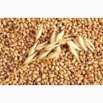 ОПТОВЫЕ ЗАКУПКИ пшеницы, ячменя, кукурузы, подсолнечника и др. зерновых