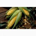 Семена кукурузы Робсон (Seed Grain)