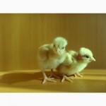 Цыпленок Испанка голошейка