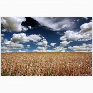 Закупим оптом пшеницу