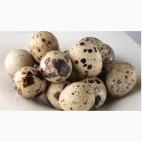 Продам инкубационное яйцо перепела техасского белого бройлерного