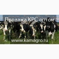 Крупно рогатый скот живым весом - Племенные нетели молочных и мясных пород по Казахстану