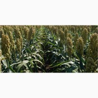 Семена зернового сорго Юки, Yuki, 90-100 суток