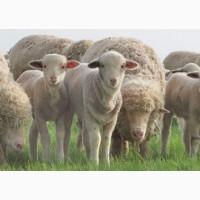 Овцы бараны породы меринос на экспорт