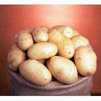Семенной картофель. IPM Potato - элитные сорта картофеля из Голландии