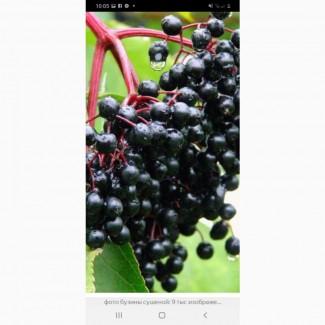 Закупаем свежесорваную ягоду бузины в Донецкой обл