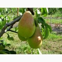 Дрібним оптом груша із саду в м. Сокиряни