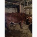 Коровы прода дойные цена договорная