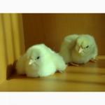 Цыпленок Ломан вайт
