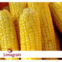 Продам кукурузу ЛГ 2244 (LG 22.44)