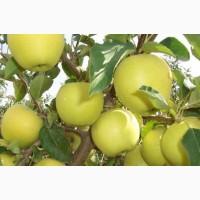 Продаем яблука со своего сада