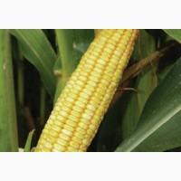 ДН Дніпро насіння кукурудзи ФАО 300