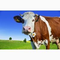 Куплю корови телята телиці в Черкаській області)
