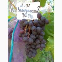 Виноград саженец кишмиш Запорожский