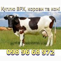 Куплю ВРХ, корови та коні в різній кількості. У Вінницькій, Черкаській та сусідніх обл