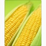 Продам гібрид кукурудзи ДНІПРОВСЬКИЙ 181 СВ