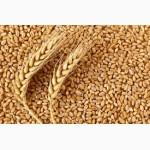 З А К У П А Е М пшеницу, ячмень, кукурузу и другие зерновые и масличные культуры, Украина