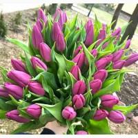 Тюльпан к 8 марта 2020 из Голландии