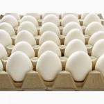 Продаємо оптом і в роздріб племінні інкубаційні яйця Ломан Вайт