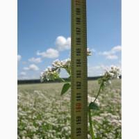 Канадские семена гречки Гренби - 2 реп