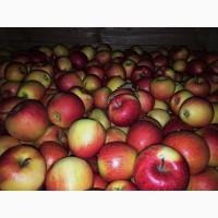 Продам яблуко від виробника від 10 тон