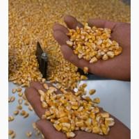 Семена кукурузы CORBIN FS - 899, ярый трансгенный гибрид