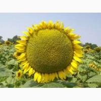 Семена подсолнечника от АГРОЕМГА Лимагрейн LG 5555 Clearfield под Евролайтинг