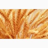 Озимая пшеница Сталева, семена (1 репродукция ) урожай 2021 г