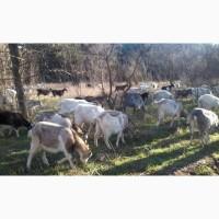 Козы (молодые) 10-11 мес, (есть козы 2-3 окота) всего около 50 животных (котные) от 450гр