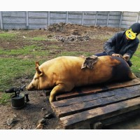Свиню, свинину, м#039;ясо на сальце та ковбаски