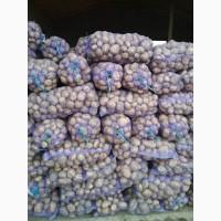 Продам товарну картоплю сортів Аноста, Беларосса, Щедрик