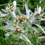 Сушеница топяная, трава.Сухоцвіт багновий, трава