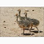 Продам страусят, молоодняк страуса недорого