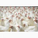 Суточные и подрощенные цыплята бройлера КОББ 500, яйцо Словения