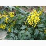 Продам саженцы замечательного вечнозеленого растения Магонии Падуболистной
