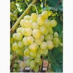 Продам виноград Презентабил (опт до 20т)