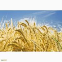 Продам канадскую пшеницу сорт Тесла, Омаха, Арвада Кривой Рог