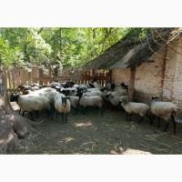 Продаем баранов Романовской мясной породы на мясо