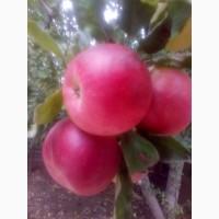 Продам яблука оптом 1, 2сорту