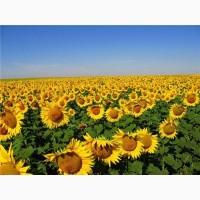 Продам семена подсолнечника Ясон (гибрид F1)