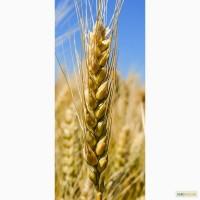 Семена озимой пшеницы Миссия Одесская, 283-287 дней, урожайность 115-120 ц/га