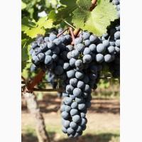 Продам технические сорта винограда, Одесская обл