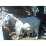 Продам козу с козлятами