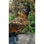 Инкубационное яйцо кур породы Падуан золотой чёрно окаймлённый