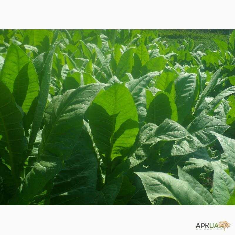 Выращивание табака на огороде для курения Домашняя ферма