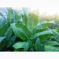 Семена сортового табака