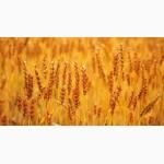 Закупаем Пшеницу разноклассовую (2-6классы)