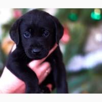 Продам щенков лабрадор-ретривер