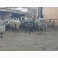Продам стадо овец 520 голов романовская порода