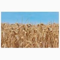 Озимая пшеница Чернява, семена (элита 1-я репродукция) урожай 2019 г ТОВ НВП Агро-Ритм